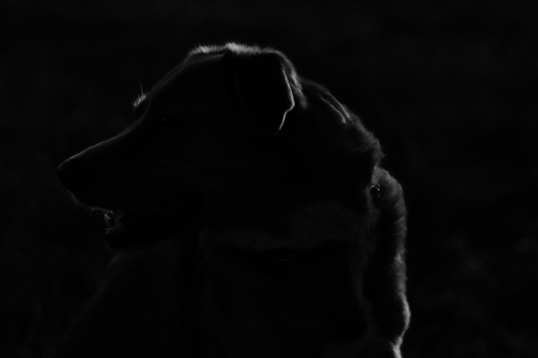 K9 Silhouette  (24 of 365)