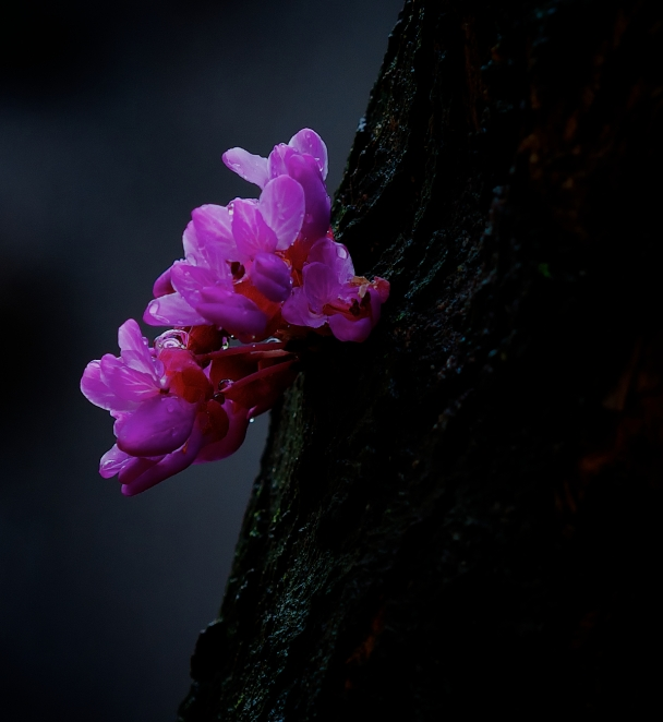 Texas Redbud Bloom (82 of 365)