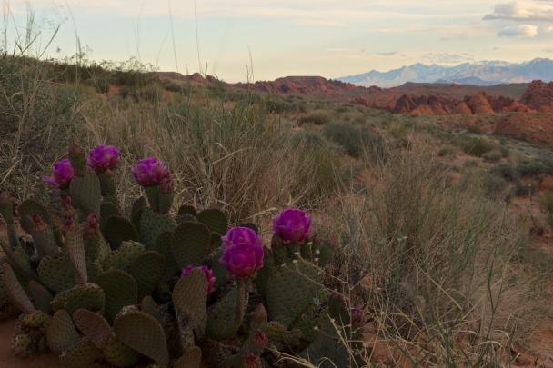 Cactus Bloom (99 of 365)