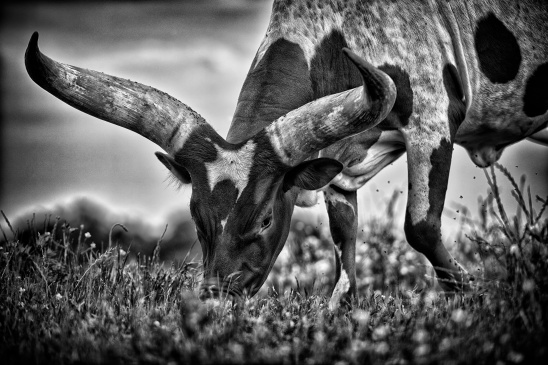 Who You Calling An Ankole (124 of 365)