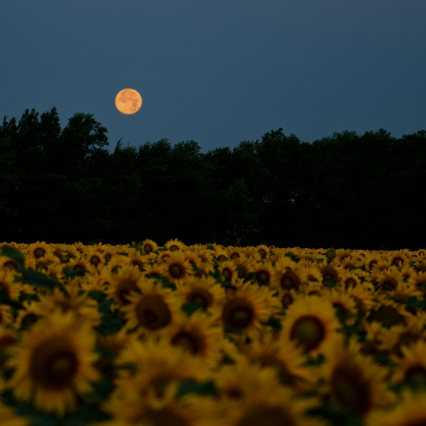 Sunflowers And The Moon (157 of 365)