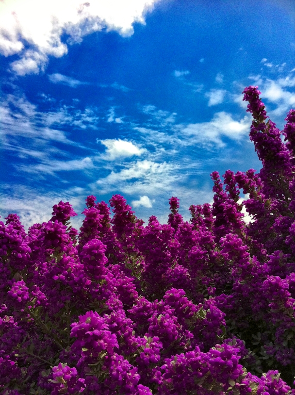 Purple Sage (180 fo 365)